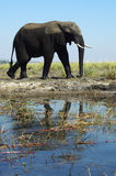 Wet Elephant. An elephant that is wet from crossing a river in Botswana, Africa Stock Image