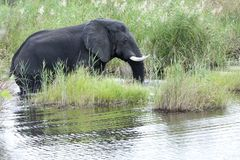 Wet elephant in african river Stock Images