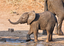 Wet elephant calf playing at the water hole Stock Photos