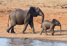 Wet elephant cow and calf playing at the water hol Royalty Free Stock Photo