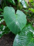 Wet Elephant Ear plant leaves. Elephant Ear plant leaf in rain. Riviera Maya, Mexico royalty free stock photos