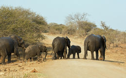 Wet elephant herd crossing the road Royalty Free Stock Images