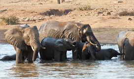 Wet elephant herd drinking at a waterhole Royalty Free Stock Photos