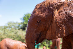 Wet elephant in profile Royalty Free Stock Photography