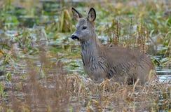 Wet European roe deer stands immersed in deep water lake stock photography