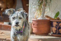 Wet faced miniature schnauzer. A disheveled miniature schnauzer adult, short hair with a wet beard after taking a drink of water royalty free stock photo