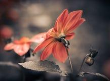 Wet fall flower closeup Stock Photo