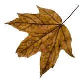Wet fall leaf Royalty Free Stock Image