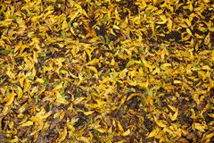 Wet Fall Leaves. A filled frame of yellow, green, and brown leaves lay wet on the ground after a storm Royalty Free Stock Photos