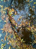 Wet fall leaves on the asphalt road in a puddle. Wet autumn leaves on an asphalt road in a puddle. Reflection of trees in a puddle. Fine background Stock Image
