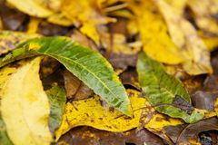 Wet Fall Leaves Close Up. A green leaf lays across a dozen wet yellow and brown fall leaves after a rain Royalty Free Stock Image