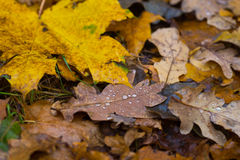 Wet fall leaves Stock Image
