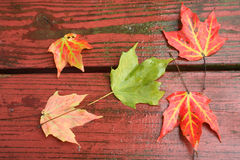 Wet Fall Leaves on redwood. Autumn Maple leaves on a rain drenched redwood deck. Old planks with peeling paint stock image