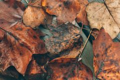 Wet fall leaves Stock Images