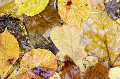 Wet fall leaves Stock Photo