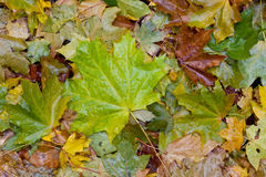 Wet fallen leaves Royalty Free Stock Image