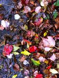 Wet fallen leaves Stock Photos