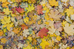 Wet fallen leaves underfoot with rain drops in a autumn rainy da Royalty Free Stock Image