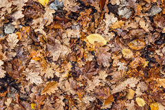 Wet fallen oak leaves. Autumn leaf fall. Royalty Free Stock Photos