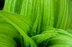 Wet false hellebore Royalty Free Stock Photography