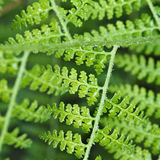 Wet Fern Stock Image