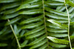Wet Fern Leafs Stock Images