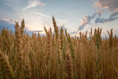 Wet wheat plant. Wet field of wheat after a summer rain with some clouds in the sky stock photography