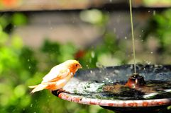 Wet Finch bird in birdbath, Florida Stock Image