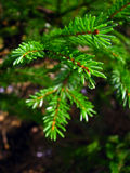 Wet fir tree Royalty Free Stock Photography