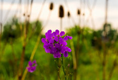 Wet fireweed flowers Stock Images