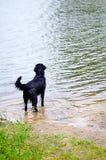Wet Flat Coated Retriever Dog. One Big Wet Flat Coated Retriever Dog Stock Photos