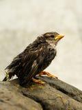 Wet fledgeling European sparrow. Bedraggled small bird - sparrow Royalty Free Stock Photo