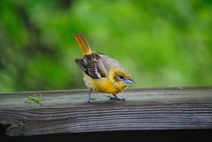 Wet Fledgling Baltimore Oriole Royalty Free Stock Image
