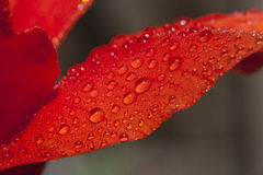 Wet Flower Petal Royalty Free Stock Images