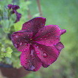 Wet flower  after the rain Royalty Free Stock Photos