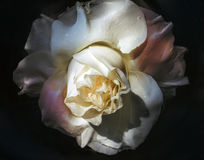 Wet flower of white rose Royalty Free Stock Photo