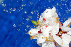 Wet flowers of apricot. Stock Photos