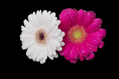 Wet flowers  Royalty Free Stock Image