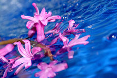 Wet flowers of magenta bellflower Stock Photos
