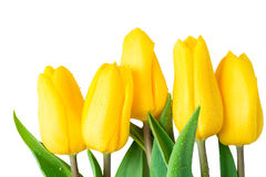 Wet flowers yellow tulips on a white background. Closeup Stock Photography
