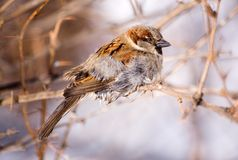 Wet and fluffy. Sparrow after water procedures in a sunny day Royalty Free Stock Photos