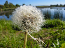 Wet fluffy dandelion seeds with umbrella Royalty Free Stock Photos