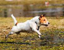 Wet, fluffy and dirty dog running through spring swamp. Jack Russell Terrier jumping over puddle Stock Photos
