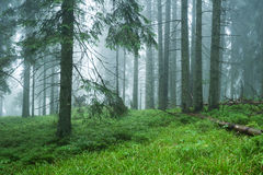 Wet forest in the fog Stock Images