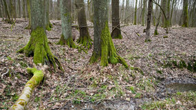 Wet forest with moss covered trees Royalty Free Stock Photography