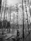 Wet forest swamp Royalty Free Stock Photo
