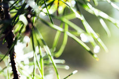 Wet forest tree throught sunlight macro, drops of rain water on pine needle blured texture Royalty Free Stock Image