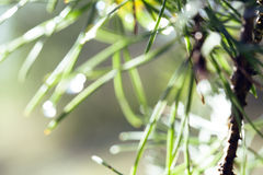 Wet forest tree throught sunlight macro, drops of rain water on pine needle Royalty Free Stock Image