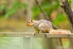 Fox squirrel on fence in woods. A wet fox squirrel walking on a fence in the woods Royalty Free Stock Photo