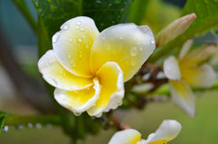 A Wet Frangipani in the Morning Royalty Free Stock Photos